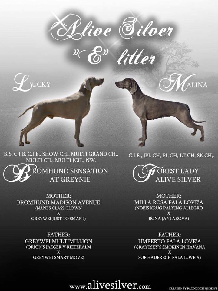 Forest Lady Alive Silver Bromhund sensation at greynie puppies weimaraner poster1