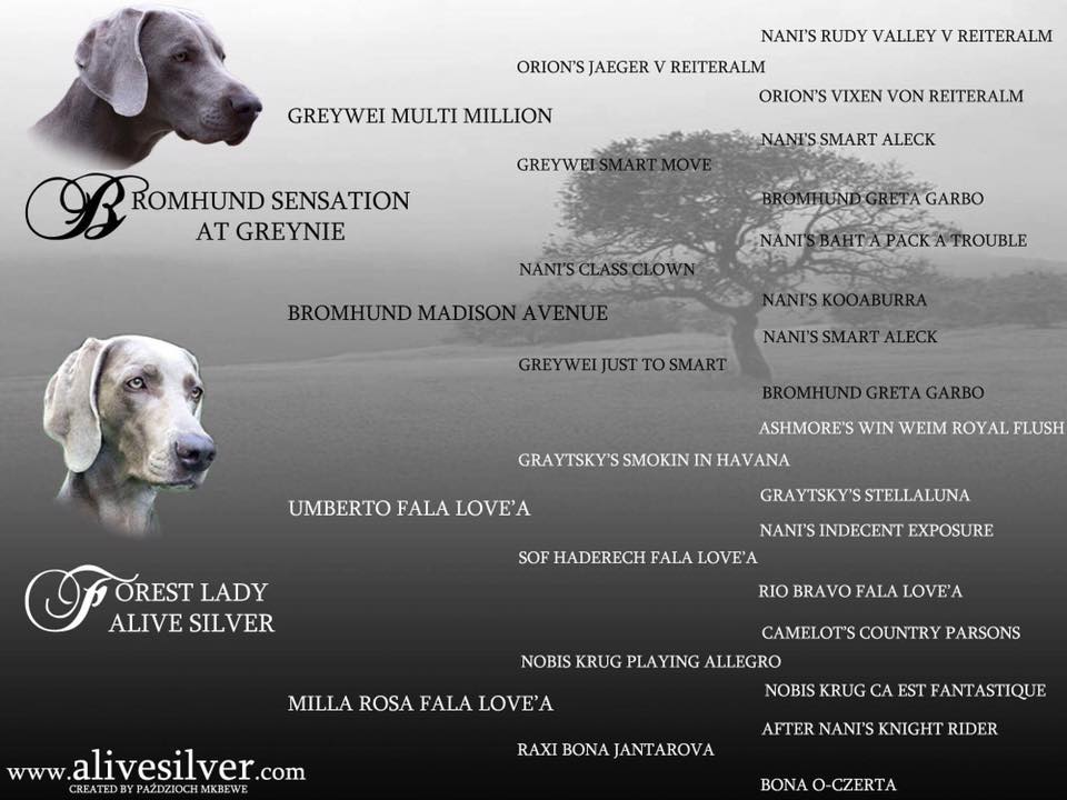 Forest Lady Alive Silver Bromhund sensation at greynie puppies weimaraner poster2