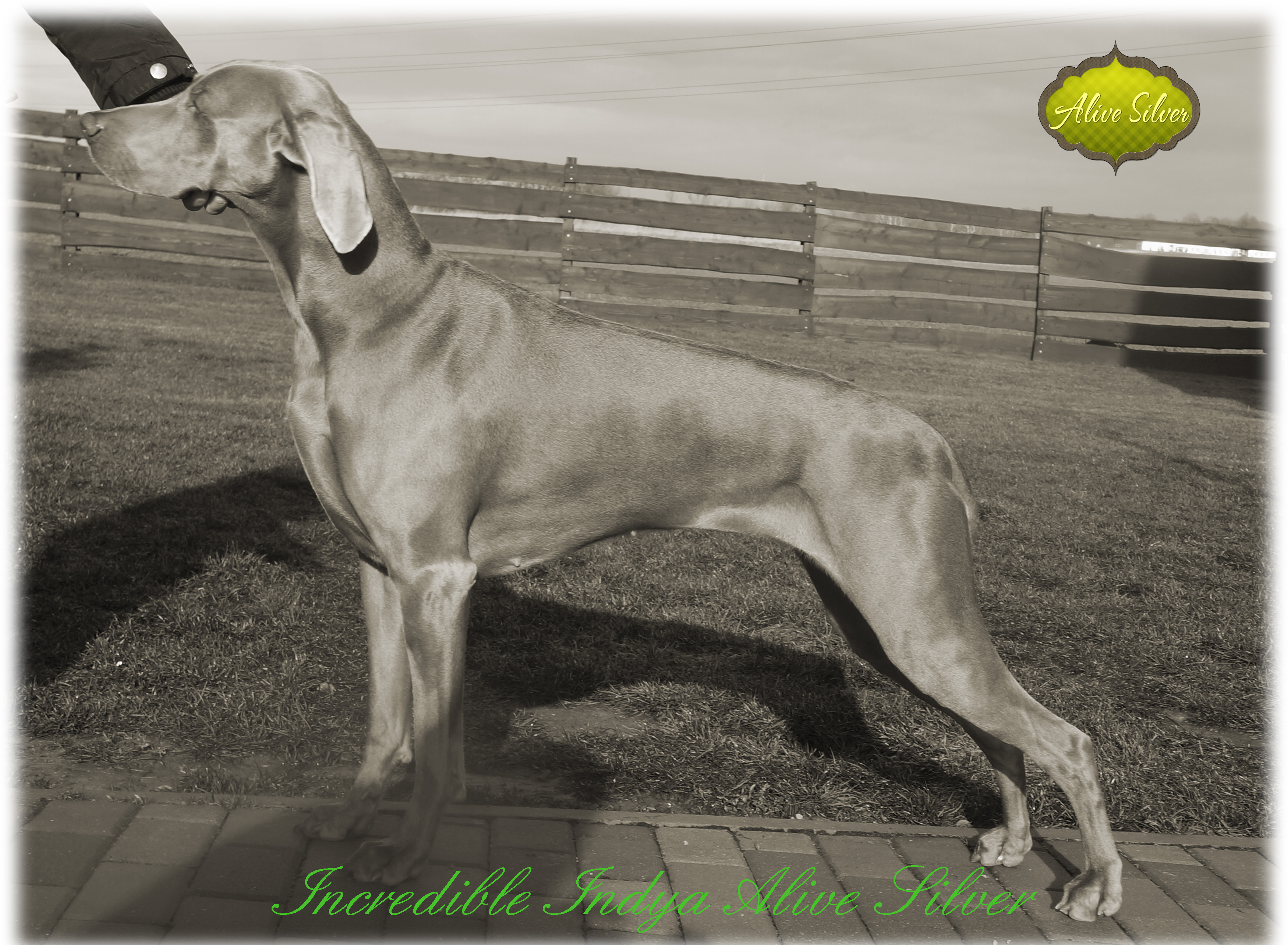 Incredible Indya Alive Silver Weimaraner 22 month