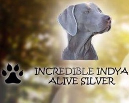 Incredible Indya Alive Silver Weimaraner